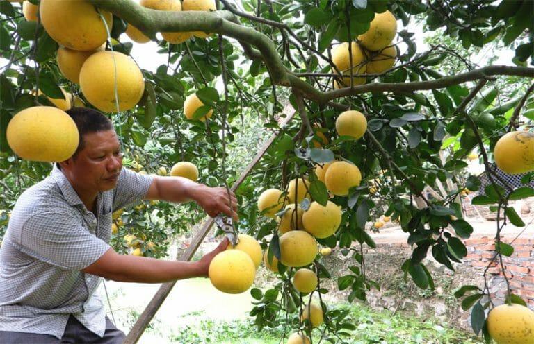Ghi nhận ở Văn Khê (huyện Mê Linh): Giá hoa và cây cảnh tết canh tý 2020 đắt ngay từ vùng trồng